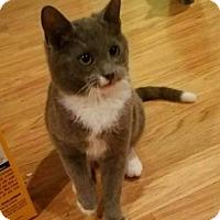 Adopt A Pet :: Mittens - Millersville, MD