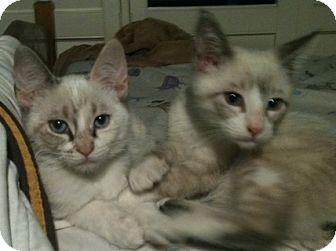 Siamese Cat for adoption in san Antonio, Texas - PATRICK