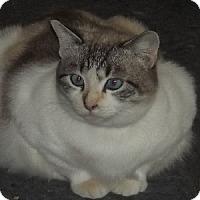 Siamese Cat for adoption in Savannah, Missouri - Addie