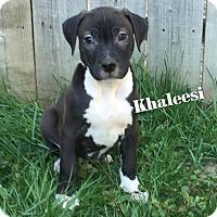 Adopt A Pet :: Khaleesi - Davison, MI
