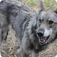 Adopt A Pet :: Nikko - Orlando, FL
