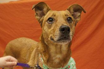 Catahoula Leopard Dog/Rhodesian Ridgeback Mix Dog for adoption in Baton Rouge, Louisiana - Sage