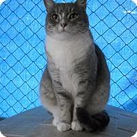 Domestic Shorthair Cat for adoption in Redding, California - Ginny