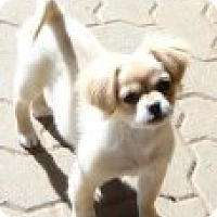 Adopt A Pet :: Buttercup - Bedford, TX