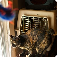 Domestic Shorthair Cat for adoption in Statesville, North Carolina - Bella