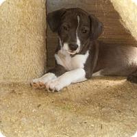 Dachshund/Australian Shepherd Mix Puppy for adoption in Loganville, Georgia - Tollhouse