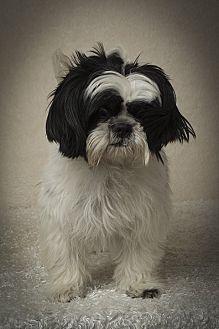 Shih Tzu Dog for adoption in Davie, Florida - Declan Ray