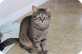 Domestic Shorthair Cat for adoption in Elliot Lake, Ontario - Jimmy