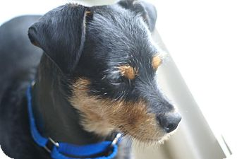 Miniature Pinscher/Terrier (Unknown Type, Small) Mix Dog for adoption in Aurora, Illinois - Terry