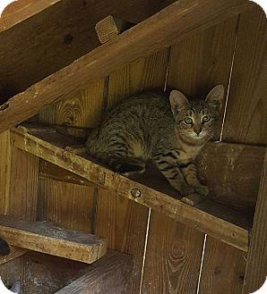 American Shorthair Kitten for adoption in Waterbury, Connecticut - Joe Joe