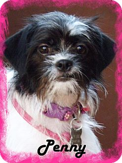 Shih Tzu Mix Dog for adoption in Anaheim Hills, California - Penny