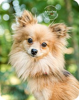 Pomeranian Mix Dog for adoption in Cincinnati, Ohio - Rosebelle (tripod) WAIVED FEE