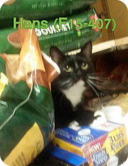 American Shorthair Cat for adoption in Tiffin, Ohio - Hans