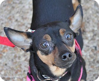 Miniature Pinscher/Manchester Terrier Mix Dog for adoption in Atlanta, Georgia - Rachel