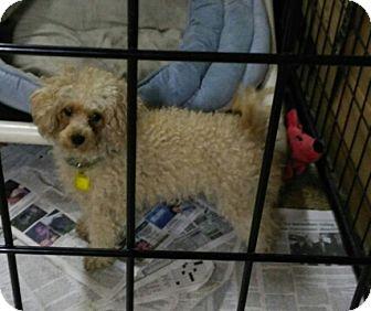 Poodle (Miniature) Dog for adoption in Mukwonago, Wisconsin - Blondie