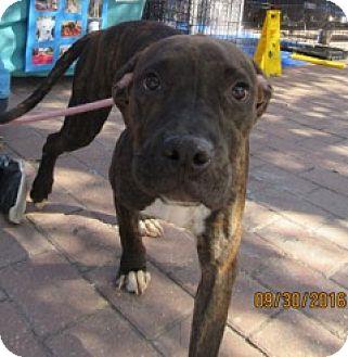 Mastiff Mix Dog for adoption in Von Ormy, Texas - August