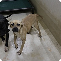 Pit Bull Terrier Mix Dog for adoption in Odessa, Texas - A24 Lyndzie