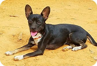 Chihuahua Mix Dog for adoption in Kendall, New York - Trixie