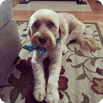 Wheaten Terrier Mix Dog for adoption in Baltimore, Maryland - Coco (COURTESY POST)