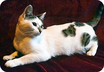 Domestic Shorthair Kitten for adoption in Savannah, Georgia - Fiona