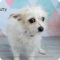 Adopt A Pet :: Scruffy - Denver, CO