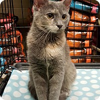 Domestic Shorthair Cat for adoption in Lutherville, Maryland - Daisy