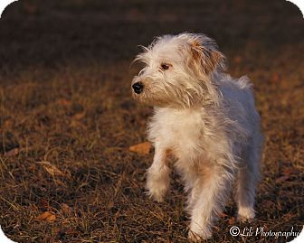 Chinese Crested/Jack Russell Terrier Mix Dog for adoption in Warner Robins, Georgia - Harry
