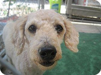 Miniature Poodle Dog for adoption in San Antonio, Texas - Orion