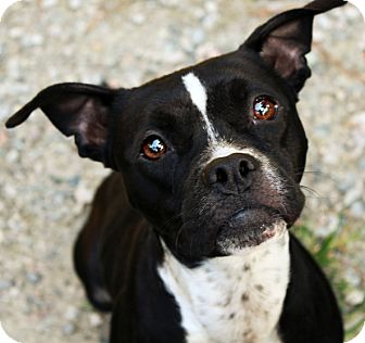 boxer and boston terrier mix maggie mae adopted dog north augusta sc boston 7732