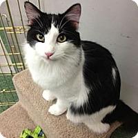 Adopt A Pet :: Merlot - Chandler, AZ