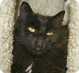 Domestic Shorthair Cat for adoption in Mountain Center, California - Chance