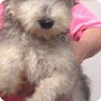 Fort collins co poodle miniature havanese mix meet buffy a dog