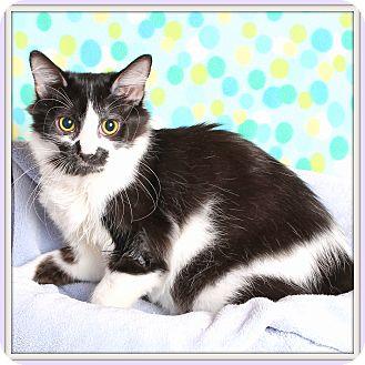 Domestic Mediumhair Cat for adoption in Glendale, Arizona - Luminara