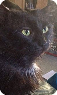 Domestic Mediumhair Cat for adoption in New Bedford, Massachusetts - Booga