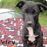 Adopt A Pet :: Petey - Bartonsville, PA