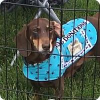 Adopt A Pet :: Koda - Marcellus, MI