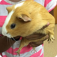 Adopt A Pet :: 1606-1629 Butterscotch - Virginia Beach, VA