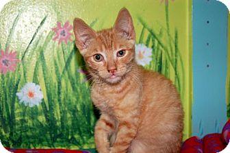 Domestic Shorthair Kitten for adoption in Lake City, Michigan - Kitten ID# 1856