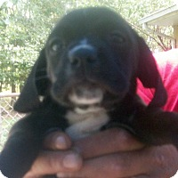 Adopt A Pet :: AMETHYST - Ventnor City, NJ