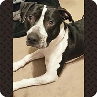 Pit Bull Terrier Mix Dog for adoption in Nashville, Tennessee - Jax