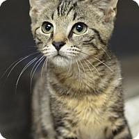 Domestic Shorthair Cat for adoption in Atlanta, Georgia - Alana 161397