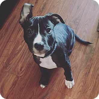 American Pit Bull Terrier/American Staffordshire Terrier Mix Puppy for adoption in oklahoma city, Oklahoma - Drake