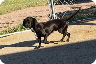 Dachshund Dog for adoption in Peyton, Colorado - Coco