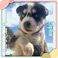 Adopt A Pet :: Spike - South Gate, CA