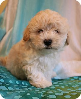 Shih Tzu/Poodle (Miniature) Mix Puppy for adoption in Staunton, Virginia - Ghost