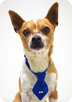 Chihuahua Mix Dog for adoption in Dublin, California - Willy