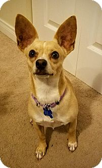 Chihuahua/Dachshund Mix Dog for adoption in El Cajon, California - Jess