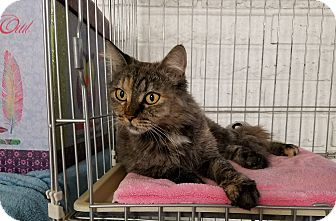 Calico Cat for adoption in Phoenix, Arizona - ANGEL