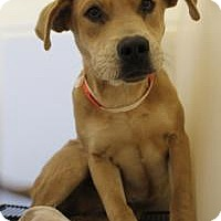 Labrador Retriever Puppy for adoption in New Smyrna Beach, Florida - Ginger