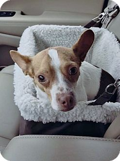 Chihuahua Mix Dog for adoption in Grafton, Wisconsin - Skip